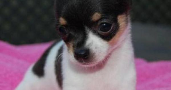 Puppies For Sale In United Kingdom Dogs And Puppies Teacup Chihuahua Puppies Chihuahua Puppies For Sale Chihuahua Puppies