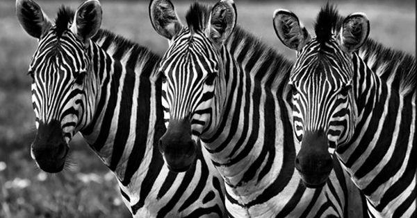 Resultat De Recherche D Images Pour Photo De Zebre Noir Et Blanc Zebras Masai Mara National Reserve Masai Mara