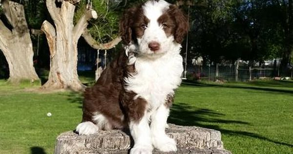 Mountain Rose Borderdoodles Has Three Upcoming Litters Of