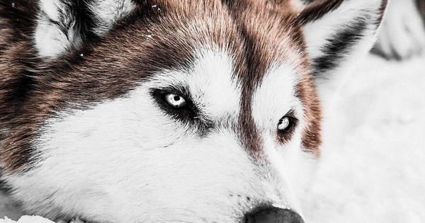 Pin By Zoltan Mrsan On Sevimli Canlilar Cute Living Things Husky Dogs Siberian Husky Husky