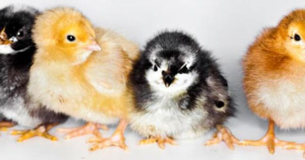 Baby Chicks Available Through Gillette S In Exeter Ri Baby Animals Cute Animals Baby Chicks Raising