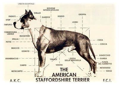 American Staffordshire Terrier Dog Breed Information Pitbull