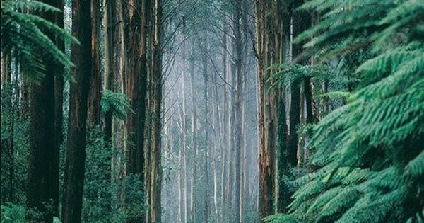 Black Spur Drive, Dandenongs, Victoria, AUSTRALIA. The trees are gum trees..... Often