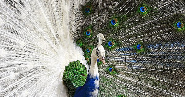 "Photo ""title"" says ""Half Albino Peacock"", but there's no such thing. It's"