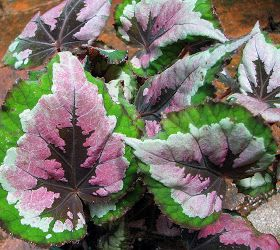 A Blog About My Garden In A Dry Tropics Zone Of Australia Begonia Flowering Trees Plant Species