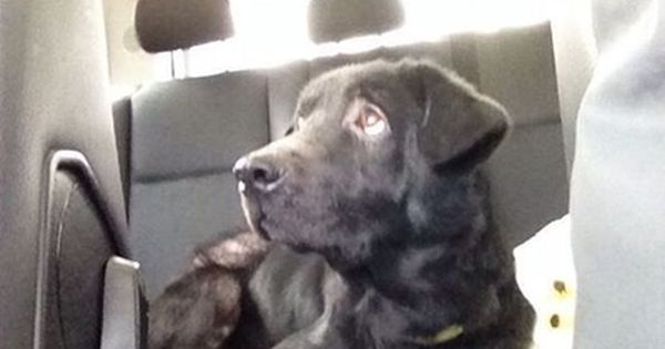 Name Tank Age About 5 Years Old Breed Lab Mix Weight 60 Lbs Location Brooklyn Ny Rebound Hounds Res Q Animals Dog Adoption Like Animals