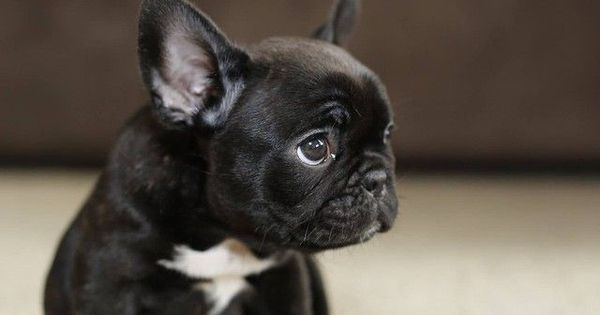 10 Dog Breeds That are Only For Rich Owners