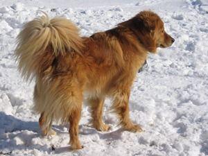 Chow Chow Golden Retriever Mix Golden Retriever Chow Dogs And