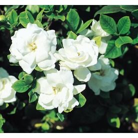 Shop 2 Quart White Veitchii Gardenia Flowering Shrub L10719 At