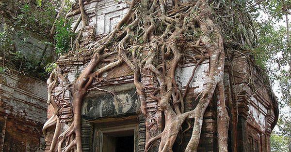 Tree house? Koh Ker Tower Tree, Cambodia