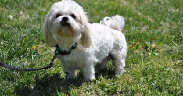 Maltese Shih Tzu Mix Shih Tzu Maltese Mix An Adoptable Dog In