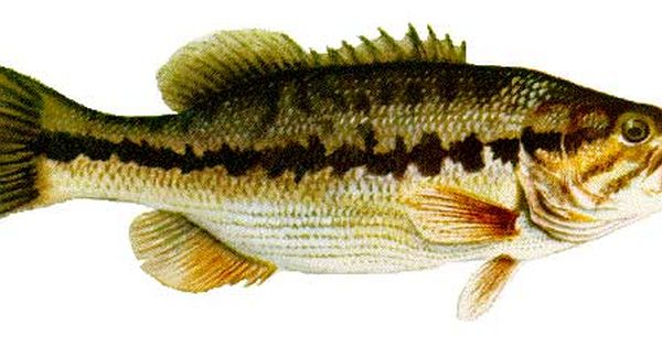State fish kentucky spotted bass adopted 1956 for Fishing in louisville ky
