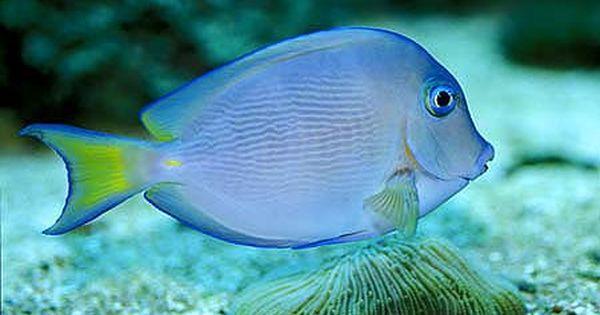 Atlantic Or Caribbean Blue Tang Acanthurus Coeruleus Tropical Fish Photo From Tropical Fish And Aquariums Fish Blue Tang Fish Marine Fish