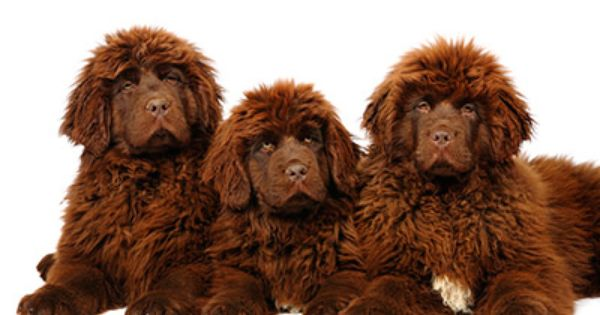 Newfoundland Puppies For Sale In Maine Newfoundland Puppies Newfoundland Dog Brown Newfoundland Dog