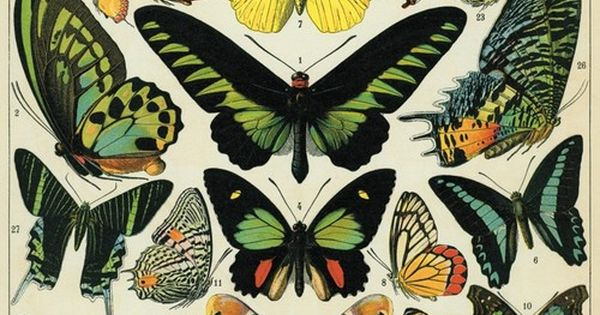 Vintage butterfly specimen poster re print