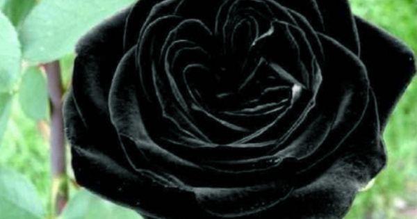 black rose seeds how to grow