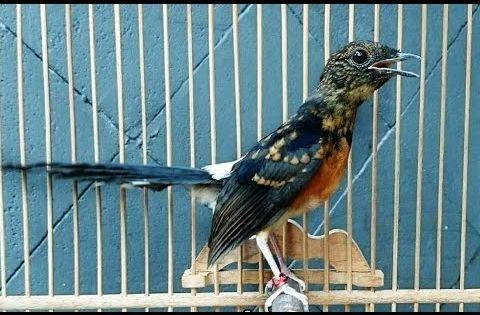 Bakal Ikut Emosi Dan Tarung Bila Anda Mendengarkan Suara Murai Batu Ini Pada Burung Kalian Youtube Di 2021 Murai Burung Suara
