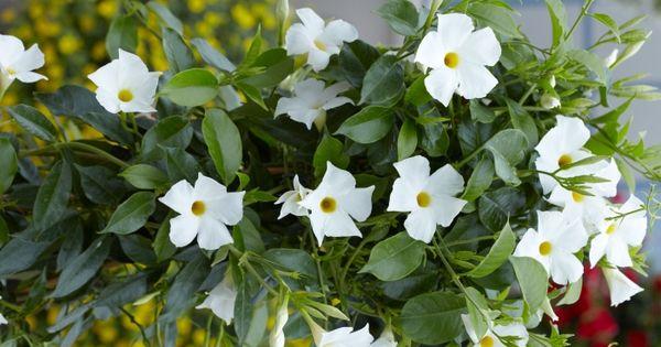 Costa farms tropic escape white mandevilla tropic for Dream plants for the natural garden
