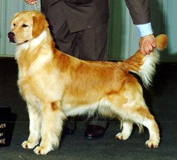 Hillock Goldens Golden Retrievers Ligonier Pennsylvania