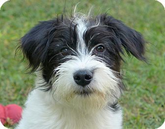 Border Collie Schnauzer Mix Schnauzer Standard Border Collie Mix Dog For Adoption In Mocksville Schnauzer Pet Adoption Pets