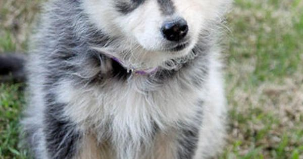 finnishlapphund - Google Search