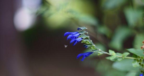 Salvia Guaranitica めどぅせーじ Co Hinh ảnh