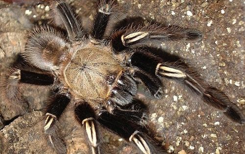 Skeleton Leg Tarantula Ephebopus murinus These South ...