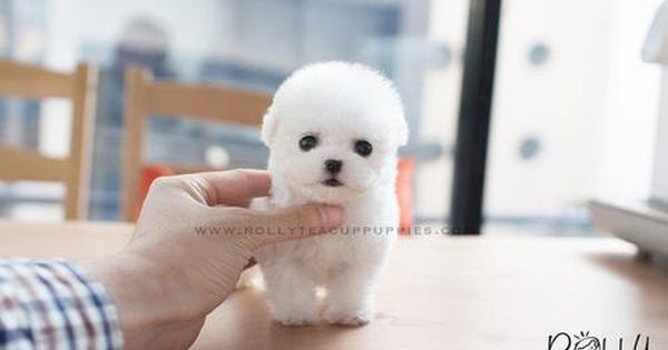 Wendy Poodle F Mini Puppies Teacup Puppies Puppies For Sale