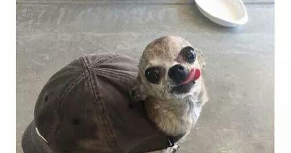 Chihuahua Doggo Turtle Cap Cute Just For Laughs