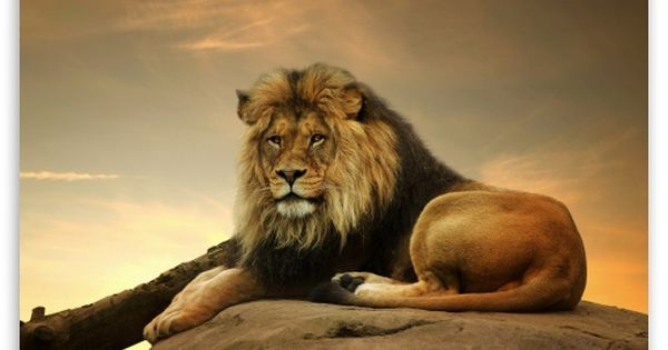 Big Lion On Stone Hd Desktop Wallpaper High Definition Fullscreen Mobile Animals Male Lion Wild Lion