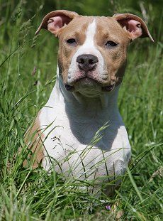 Buying Or Adopting An American Staffordshire Terrier With Images