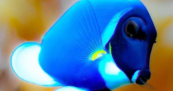 Earthlynation Powder Blue Tang Blue Tang Fish Saltwater Fish Tanks Animals