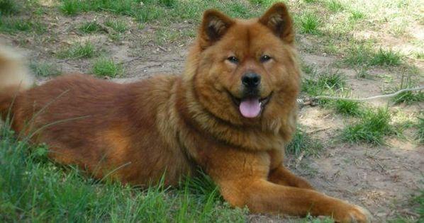 Akita Chow He Looks Like My Jonsey Missmybaby Akita Akita Australian Shepherd Deutscher Schaferhund Golden Chow Ch In 2020 Akita Corgi Terrier Mix Terrier Mix Breeds