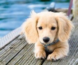 The Canine Roommate Top 10 Best Dog Breeds For Apartment Living Cute Animals Puppies Golden Retriever Dachshund