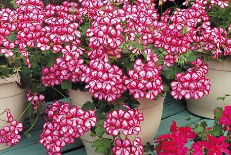 Expert tips for long-lasting geraniums (including how to store them over the