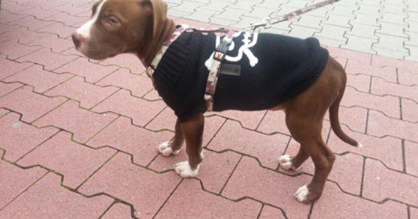 Zuhause Gesucht Ts Pitbull Stafford Und Co Koln E V Pitbull Tiere Hunde