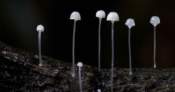 These 18 Mushrooms Series By Steve Axford White Mycena