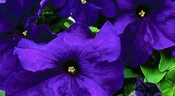 Purple Petunias Purple Petunias Annual Plants Petunias In Pots Petunias Flower Bed Petunias Care Petunias Negras Petunia In 2020 Purple Petunias Petunia Plant