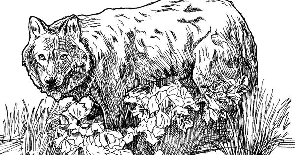 Endangered species coloring pages wolf coloring page for Endangered species coloring pages