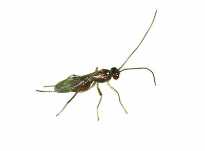 Braconid Wasps Are My Friends I Love Brandywine Tomatoes Their Stingers May Scare Off Humans But This Parasite Is Mo Garden Insects Garden Bugs Farm Gardens