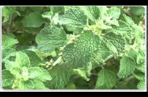 فوائد عشبة مريوت أو الفراسيون الأبيض على القلب والتخسيس و الجمال Youtube Plant Leaves Plants Leaves
