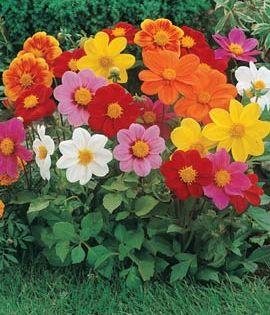 Https Www Dutchgardens Com Files Products 6342 L Jpg Flower Seeds Dahlia Flower Flower Pots