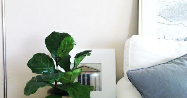 zimmerpflanze schattig feigenbaum zimmergr npflanzen. Black Bedroom Furniture Sets. Home Design Ideas