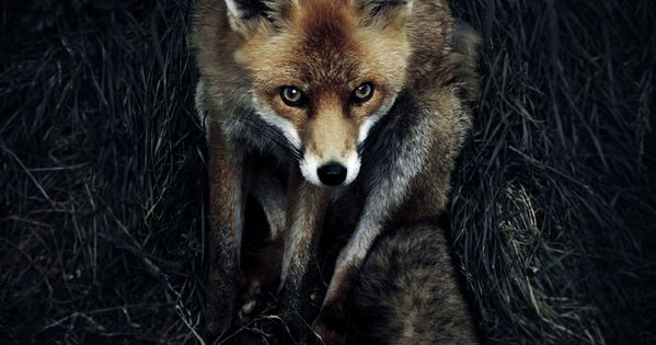 National Geographic Photo Contest 2012 - Red Fox