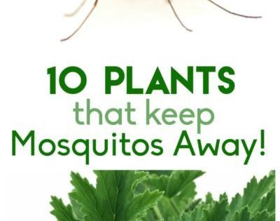 plants that keep the mosquitos away gardens the mosquito and sprays