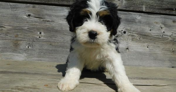 Miniature Bernedoodle Puppy For Sale In Millersburg Oh Adn 45289 On Puppyfinder Com Gender Male Age 5 Week Bernedoodle Puppy Puppies For Sale Mini Puppies