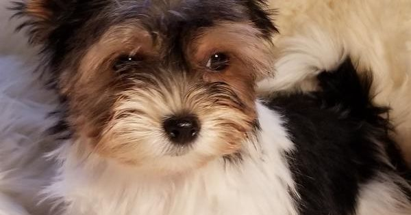 Best Of Euro Puppy 2018w27 Maltese Puppies For Sale Puppies