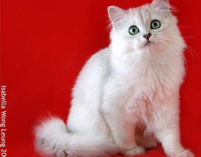 The Longhaired Burmilla Is An Elegant And Beautiful Breed Developed From The Shorthair Burmilla Programme Which Began With An Burmilla Cat Burmilla Cat Breeds