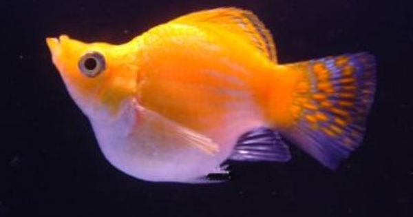 Balloon molly trying one out right now fish for Molly fish for sale