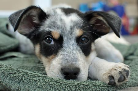 Bentley The Blue Heeler Mix Cattle Dogs Rule Blue Heeler Cattle Dogs Mix